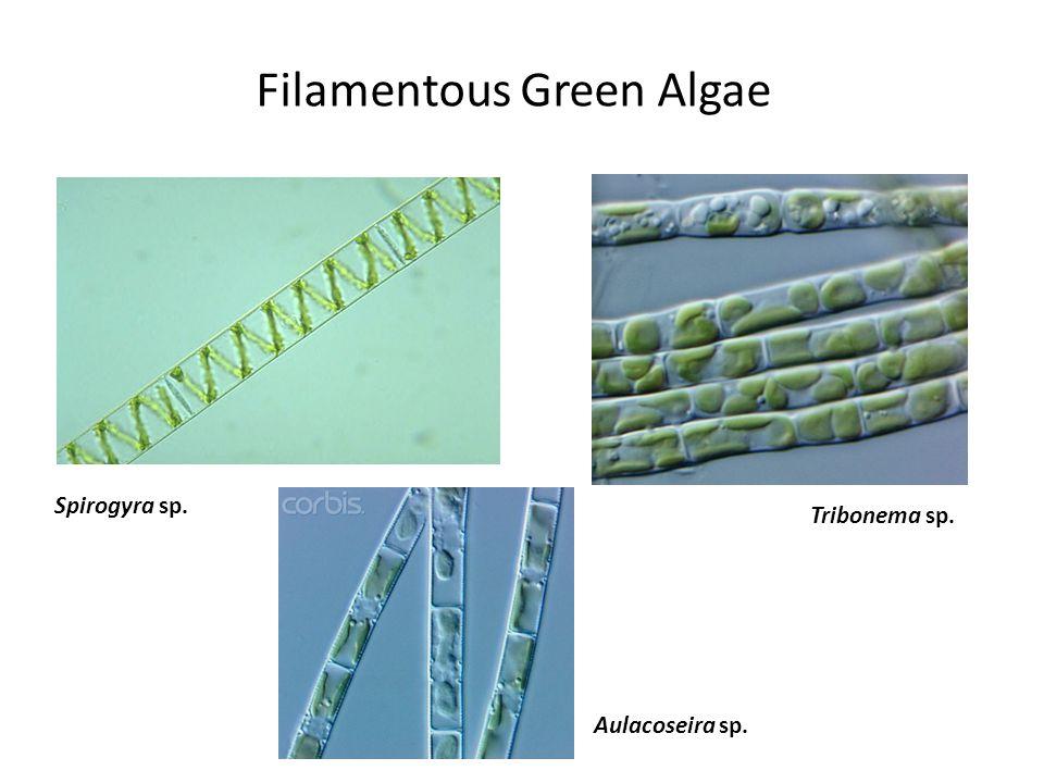 Tribonema sp. Spirogyra sp. Aulacoseira sp. Filamentous Green Algae