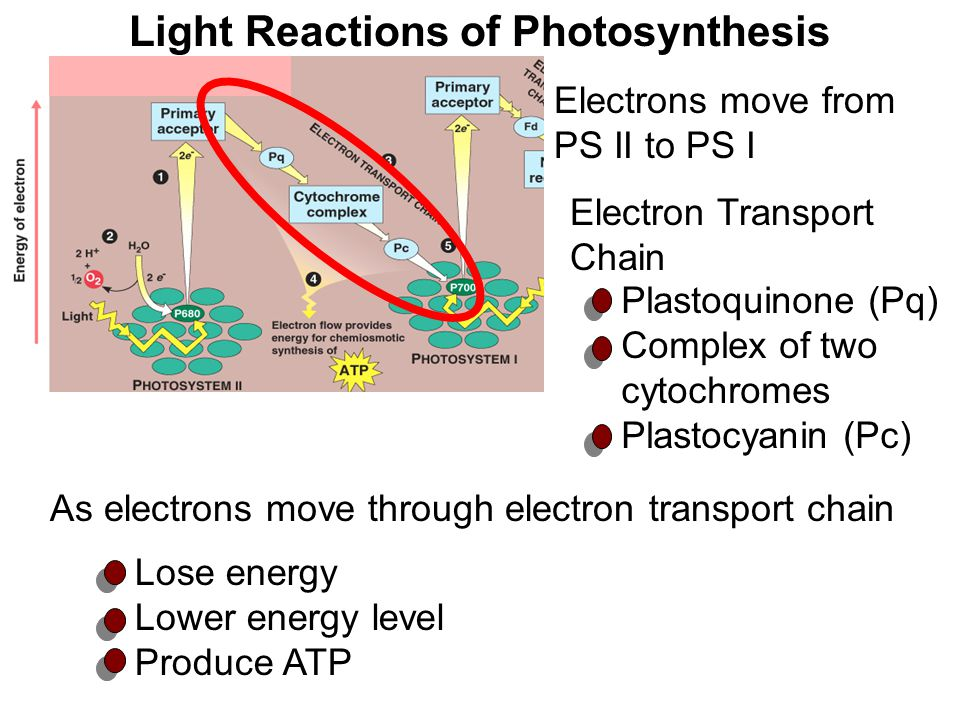 Electrons move from PS II to PS I Light Reactions of Photosynthesis Lose energy Lower energy level Produce ATP Plastoquinone (Pq) Complex of two cytoc