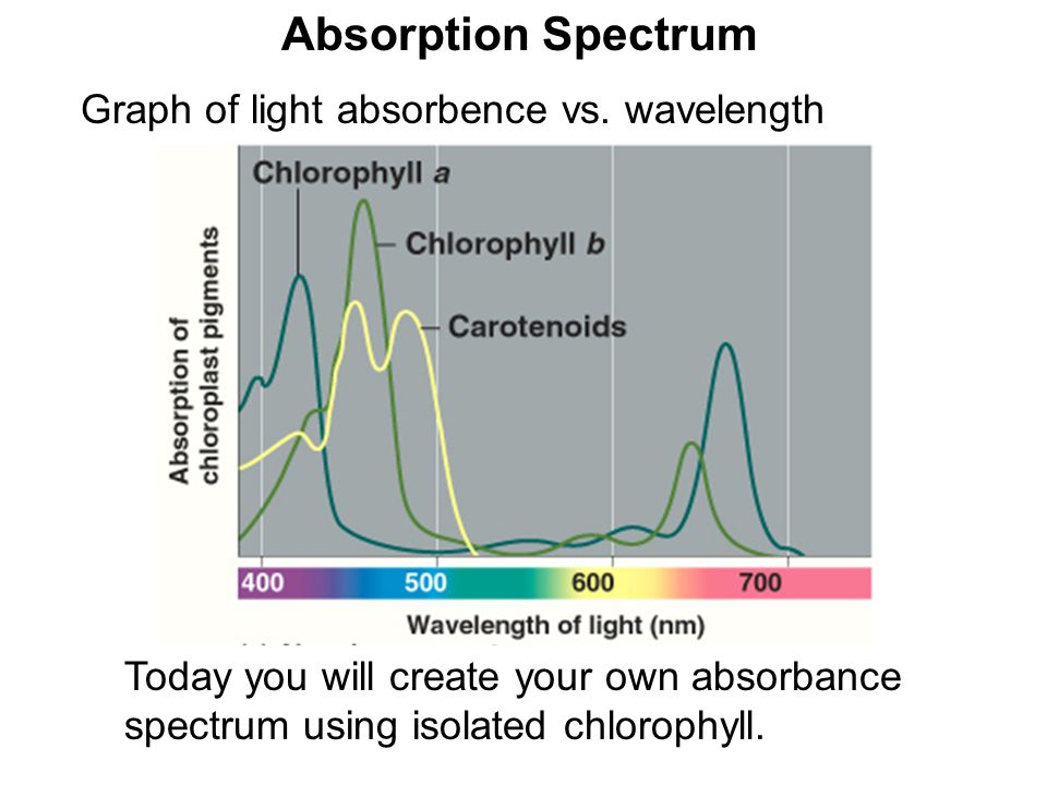 Absorption Spectrum Graph of light absorbence vs. wavelength Today you will create your own absorbance spectrum using isolated chlorophyll.