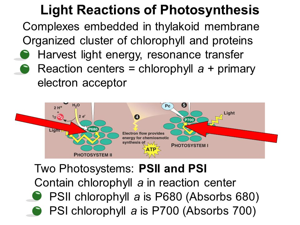 Light Reactions of Photosynthesis Complexes embedded in thylakoid membrane Organized cluster of chlorophyll and proteins Harvest light energy, resonan