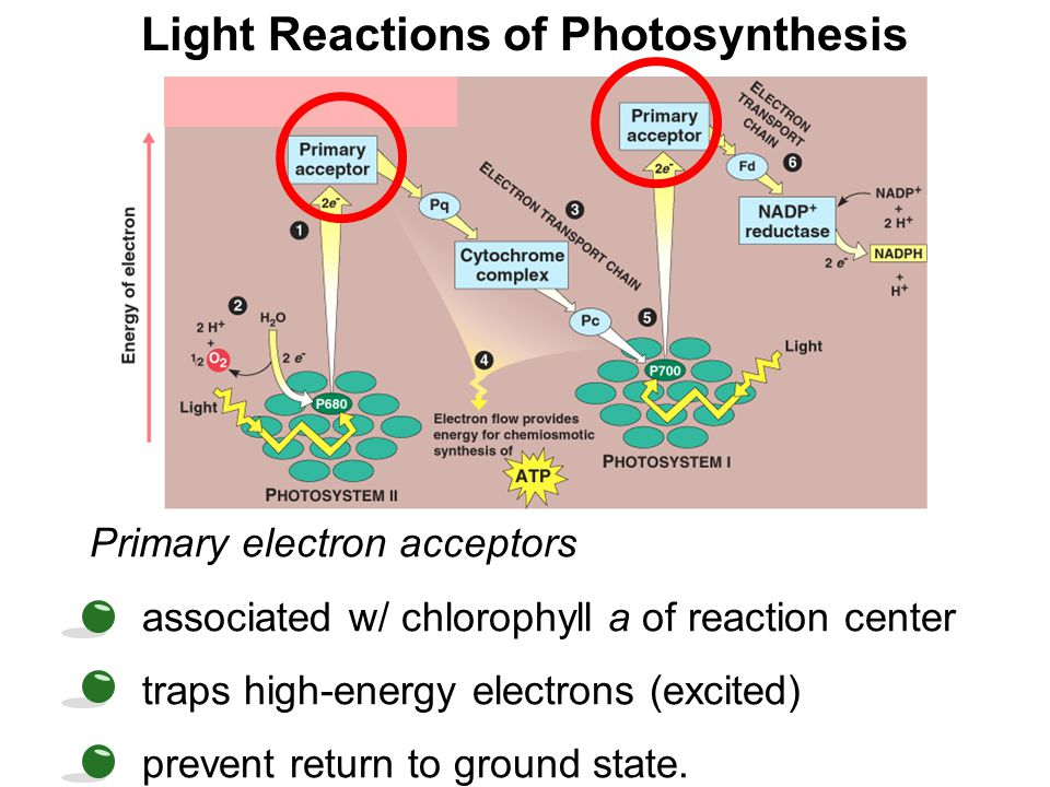 Light Reactions of Photosynthesis Primary electron acceptors associated w/ chlorophyll a of reaction center traps high-energy electrons (excited) prev