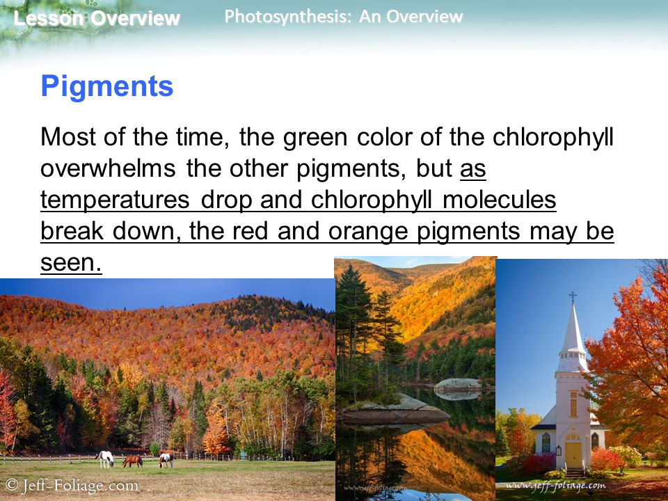 Lesson Overview Lesson Overview Photosynthesis: An Overview Pigments Most of the time, the green color of the chlorophyll overwhelms the other pigments, but as temperatures drop and chlorophyll molecules break down, the red and orange pigments may be seen.
