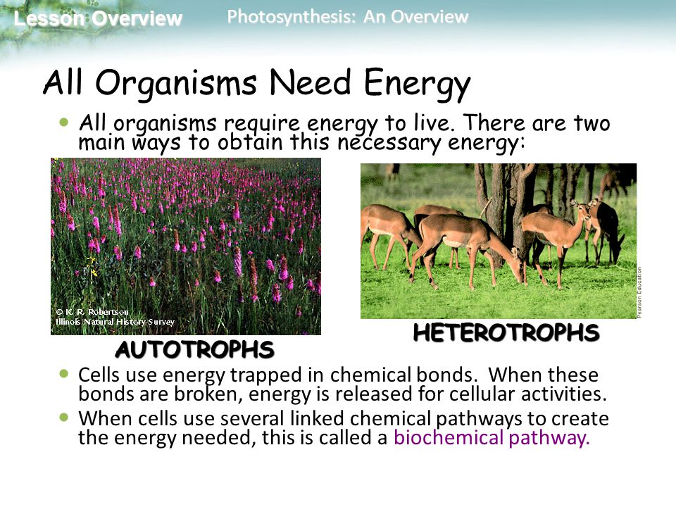 Lesson Overview Lesson Overview Photosynthesis: An Overview All Organisms Need Energy All organisms require energy to live.