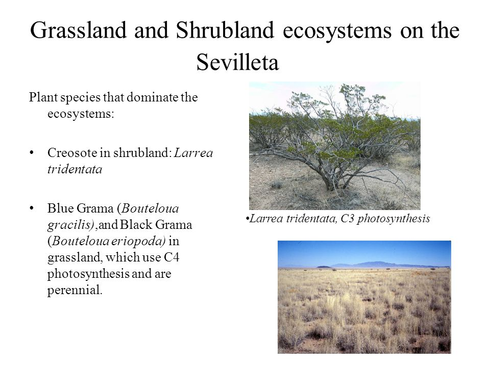 Grassland and Shrubland ecosystems on the Sevilleta Plant species that dominate the ecosystems: Creosote in shrubland: Larrea tridentata Blue Grama (Bouteloua gracilis),and Black Grama (Bouteloua eriopoda) in grassland, which use C4 photosynthesis and are perennial.