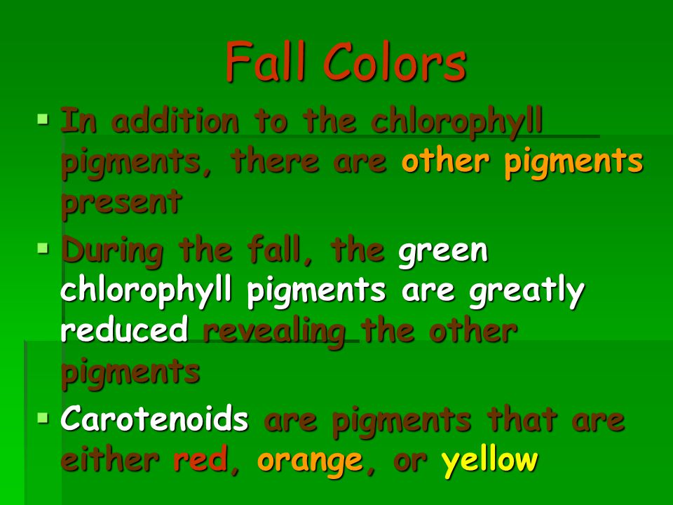 Fall Colors  In addition to the chlorophyll pigments, there are other pigments present  During the fall, the green chlorophyll pigments are greatly reduced revealing the other pigments  Carotenoids are pigments that are either red, orange, or yellow