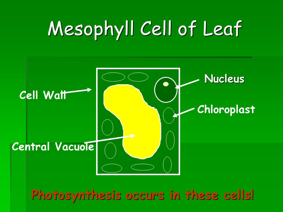 Mesophyll Cell of Leaf Cell Wall Nucleus Chloroplast Central Vacuole Photosynthesis occurs in these cells!