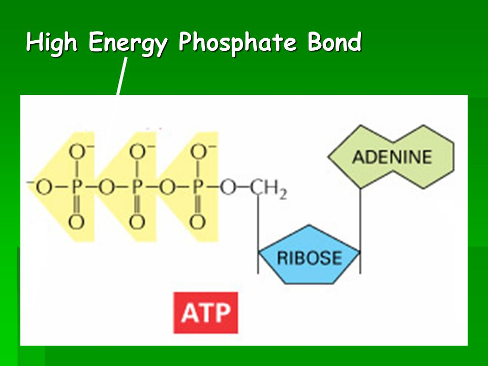 High Energy Phosphate Bond