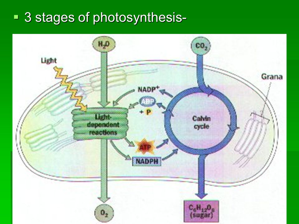  3 stages of photosynthesis-