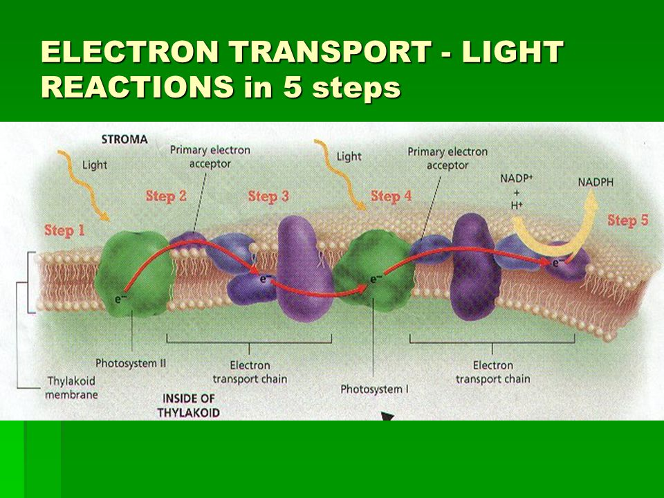 ELECTRON TRANSPORT - LIGHT REACTIONS in 5 steps