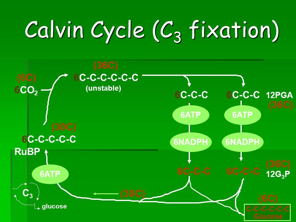 Calvin Cycle (C 3 fixation) 6CO 2 6C-C-C-C-C-C 6C-C-C 6C-C-C-C-C 12PGA RuBP 12G 3 P (unstable) 6NADPH 6ATP C-C-C-C-C-C Glucose (6C) (36C) (30C) (6C) 6C-C-C C3C3 glucose