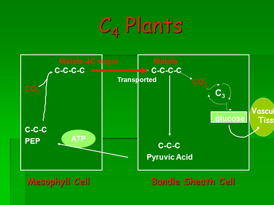 C 4 Plants Mesophyll Cell CO 2 C-C-C PEP C-C-C-C Malate-4C sugar ATP Bundle Sheath Cell C-C-C Pyruvic Acid C-C-C-C CO 2 C3C3 Malate Transported glucose Vascular Tissue