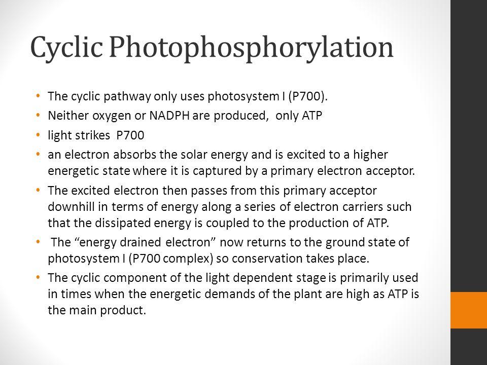 Cyclic Photophosphorylation The cyclic pathway only uses photosystem I (P700).