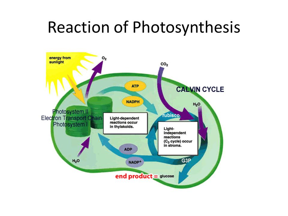 Reaction of Photosynthesis
