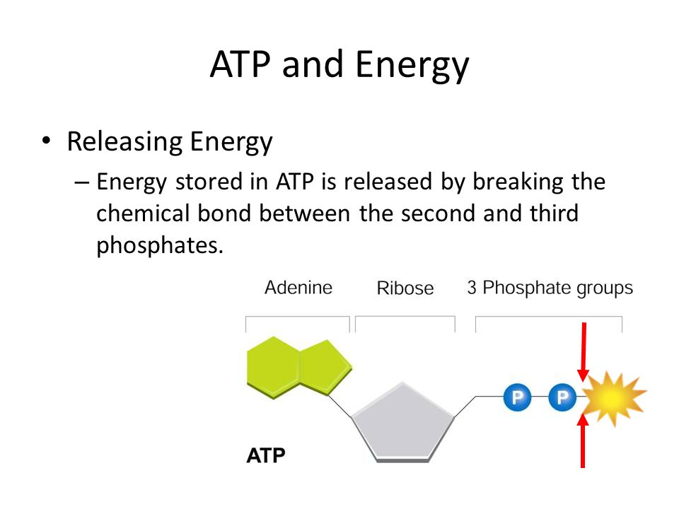 ATP and Energy Releasing Energy – Energy stored in ATP is released by breaking the chemical bond between the second and third phosphates.