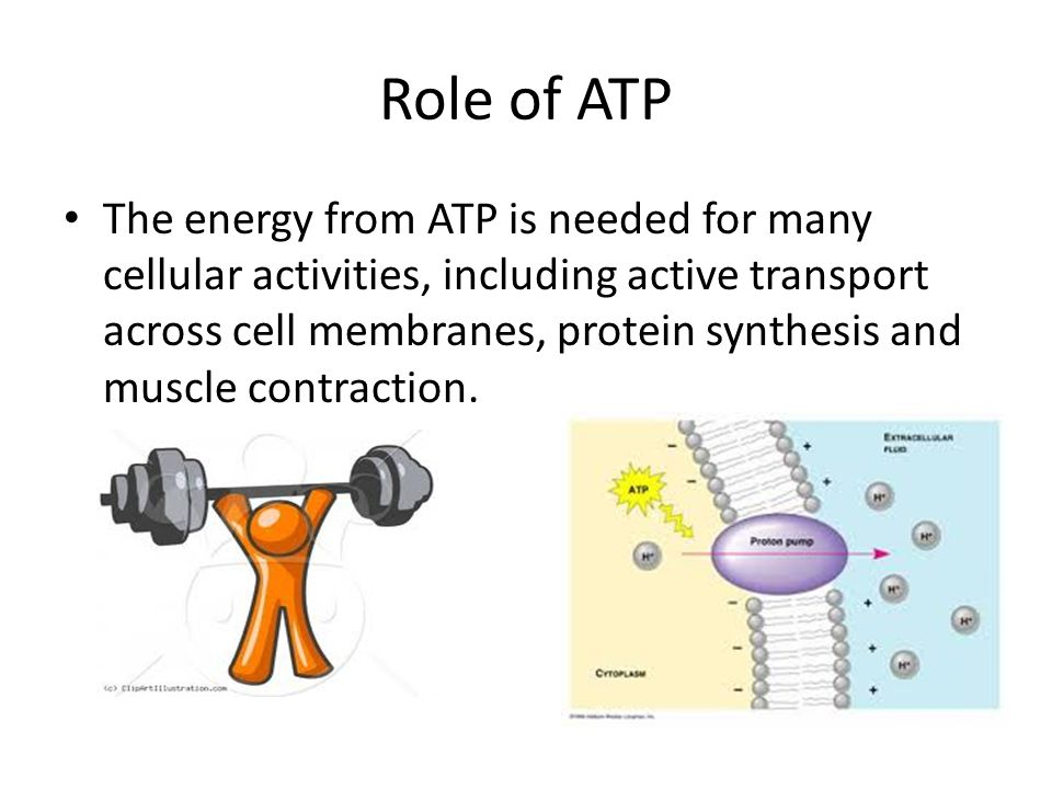 Role of ATP The energy from ATP is needed for many cellular activities, including active transport across cell membranes, protein synthesis and muscle