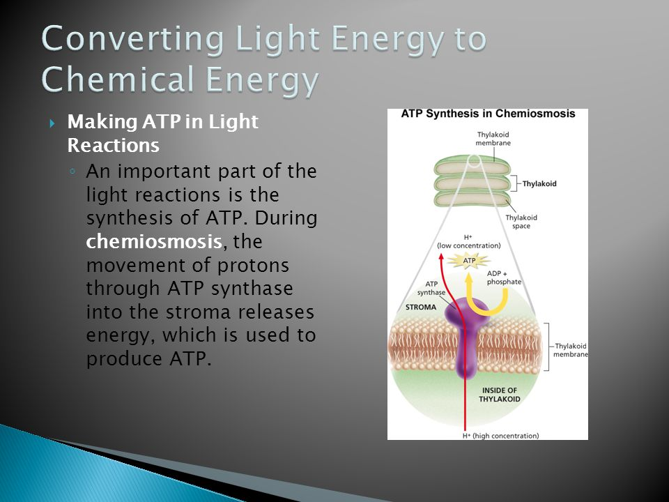  Making ATP in Light Reactions ◦ An important part of the light reactions is the synthesis of ATP. During chemiosmosis, the movement of protons throu