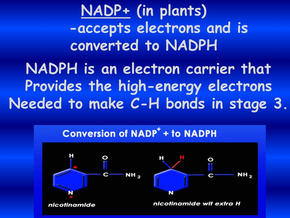"""These """"excited"""" electrons that leave The chlorophyll molecules are used To produce new molecules that Temporarily store chemical energy, Including ATP"""