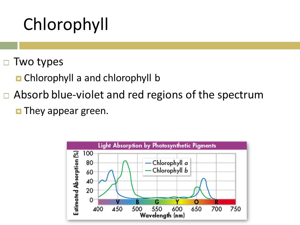 Chlorophyll  Two types  Chlorophyll a and chlorophyll b  Absorb blue-violet and red regions of the spectrum  They appear green.