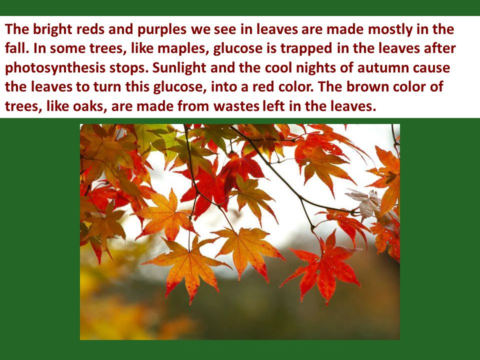 The bright reds and purples we see in leaves are made mostly in the fall.