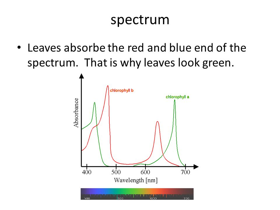 spectrum Leaves absorbe the red and blue end of the spectrum. That is why leaves look green.