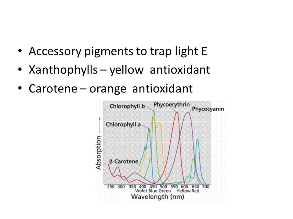 Accessory pigments to trap light E Xanthophylls – yellow antioxidant Carotene – orange antioxidant