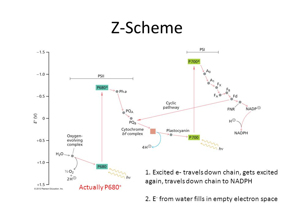 Z-Scheme Actually P680 + 1. Excited e- travels down chain, gets excited again, travels down chain to NADPH 2. E - from water fills in empty electron s