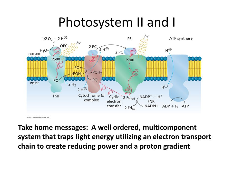 Photosystem II and I Take home messages: A well ordered, multicomponent system that traps light energy utilizing an electron transport chain to create reducing power and a proton gradient