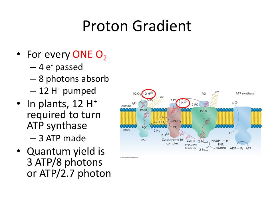 Proton Gradient For every ONE O 2 – 4 e - passed – 8 photons absorb – 12 H + pumped In plants, 12 H + required to turn ATP synthase – 3 ATP made Quantum yield is 3 ATP/8 photons or ATP/2.7 photon