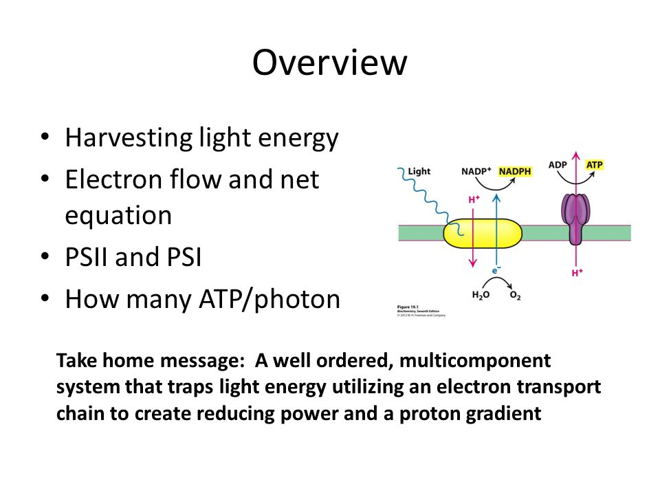 Overview Harvesting light energy Electron flow and net equation PSII and PSI How many ATP/photon Take home message: A well ordered, multicomponent system that traps light energy utilizing an electron transport chain to create reducing power and a proton gradient