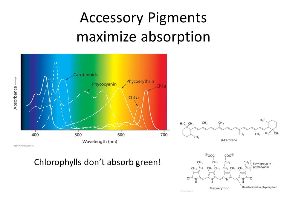 Accessory Pigments maximize absorption Chlorophylls don't absorb green!