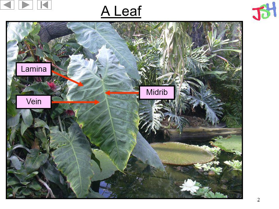 2 A Leaf Lamina Vein Midrib