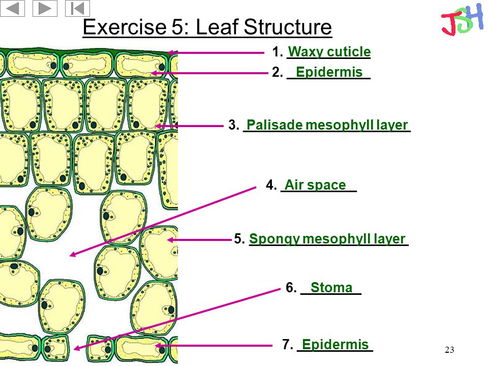 23 Exercise 5: Leaf Structure 1. ___________ 2. ___________ 3. ______________________ 5. _____________________ 7. __________ 6. ________ 4. __________