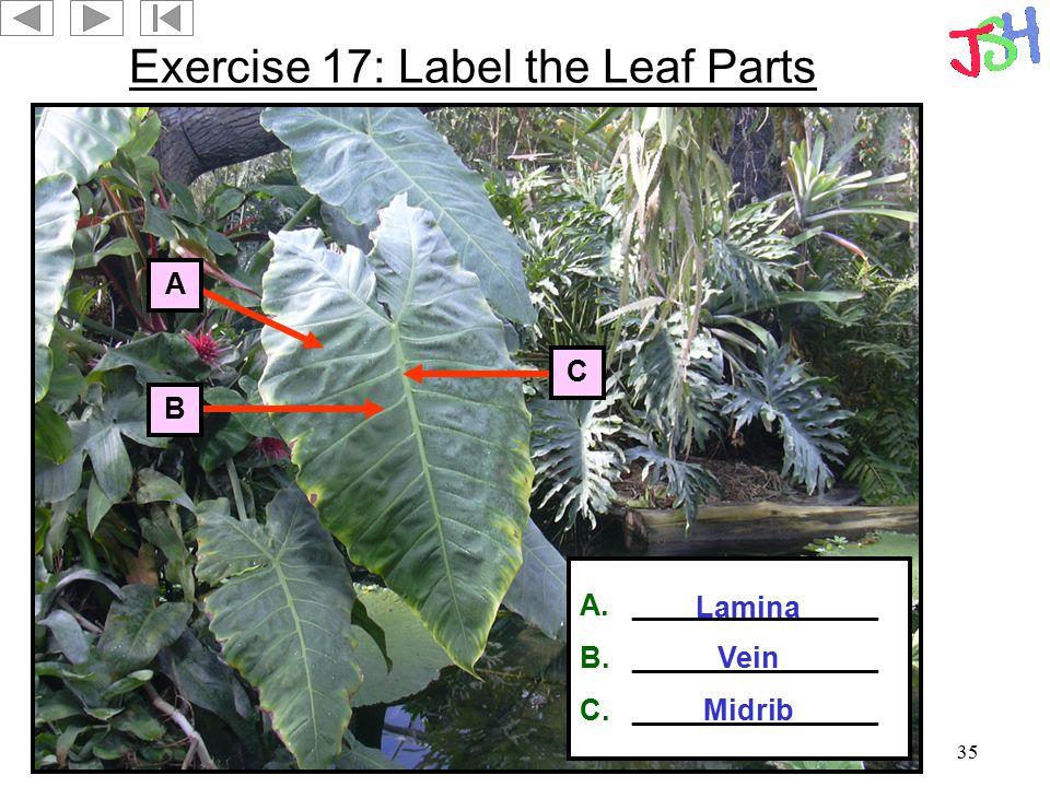 35 Exercise 17: Label the Leaf Parts A B C A._______________ B._______________ C._______________ Lamina Vein Midrib