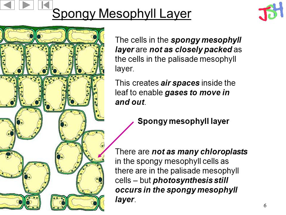 6 Spongy Mesophyll Layer Spongy mesophyll layer The cells in the spongy mesophyll layer are not as closely packed as the cells in the palisade mesophy