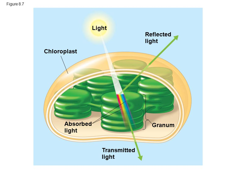 Figure 8.9a Chloro- phyll a Absorption of light by chloroplast pigments Chlorophyll b Carotenoids (a) Absorption spectra 400700600 500 Wavelength of light (nm)