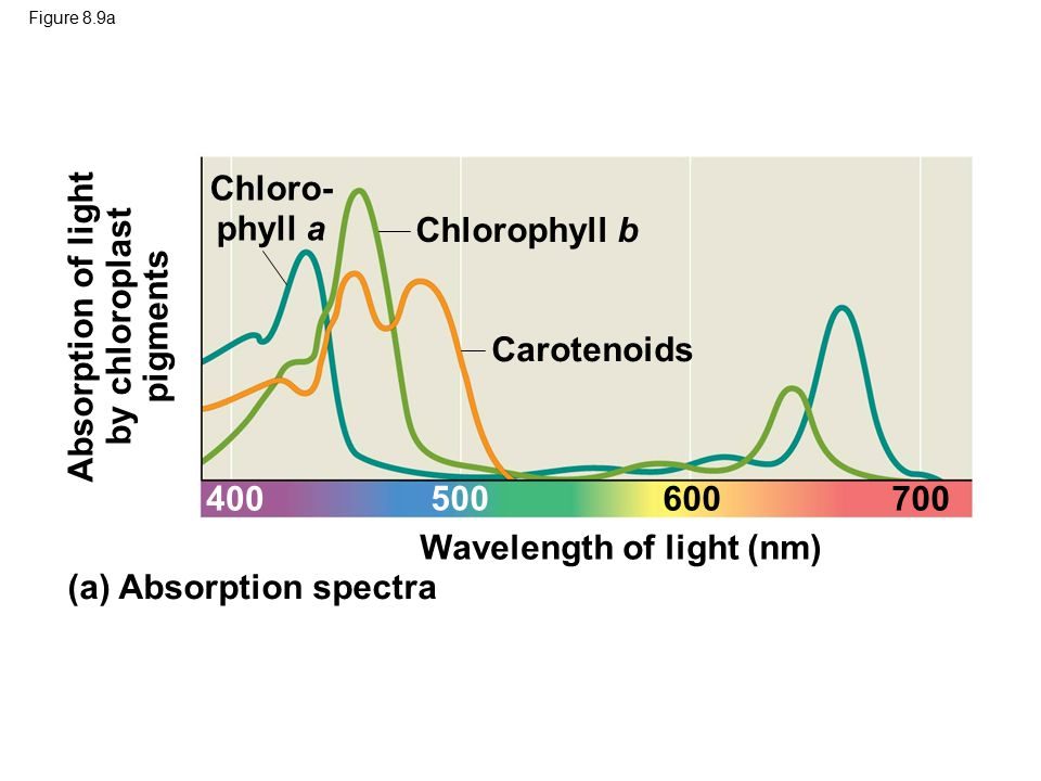 Figure 8.9b (b) Action spectrum 400700600 500 Rate of photosynthesis (measured by O 2 release)