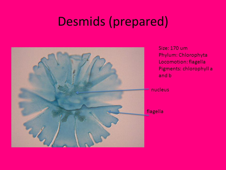 Desmids (prepared) Size: 170 um Phylum: Chlorophyta Locomotion: flagella Pigments: chlorophyll a and b flagella nucleus