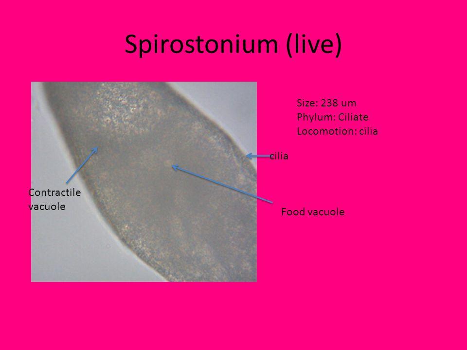 Spirostonium (live) Size: 238 um Phylum: Ciliate Locomotion: cilia cilia Food vacuole Contractile vacuole
