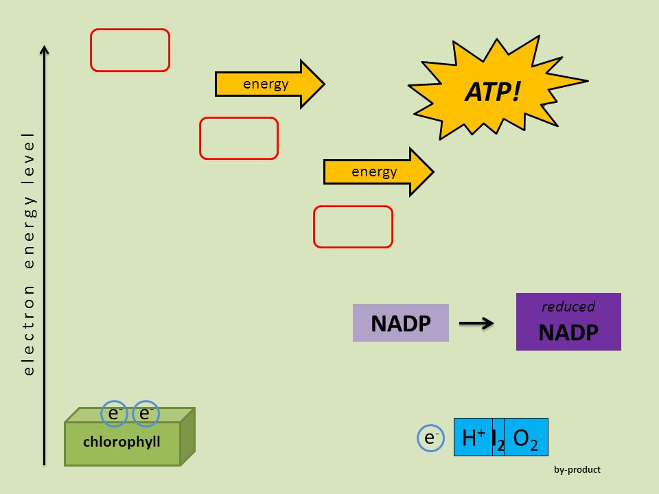 chlorophyll e-e- e-e- e l e c t r o n e n e r g y l e v e l energy ADPPiPi ATP! H2OH2OH+H+ O2O2 e-e- NADP reduced NADP by-product
