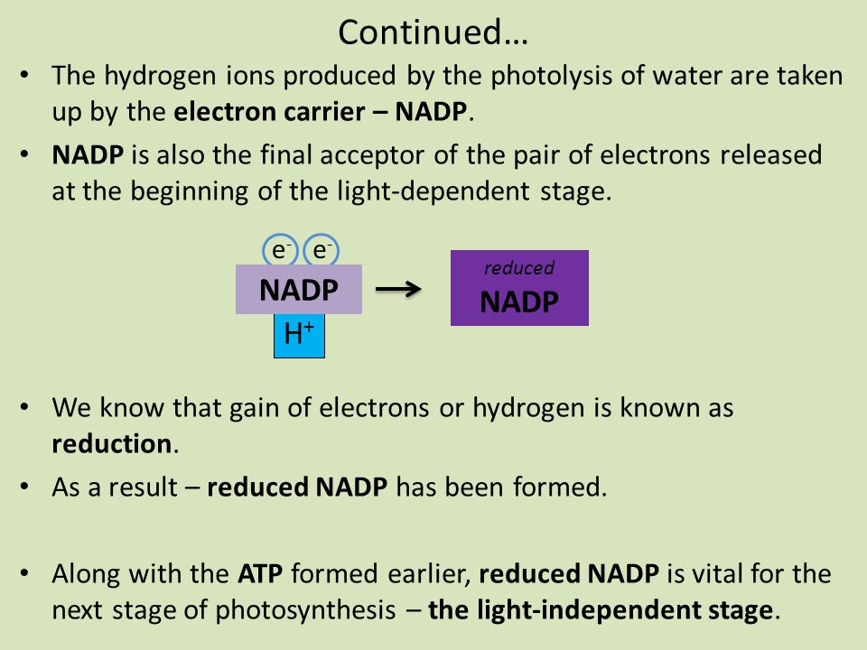 Continued… The hydrogen ions produced by the photolysis of water are taken up by the electron carrier – NADP. NADP is also the final acceptor of the p