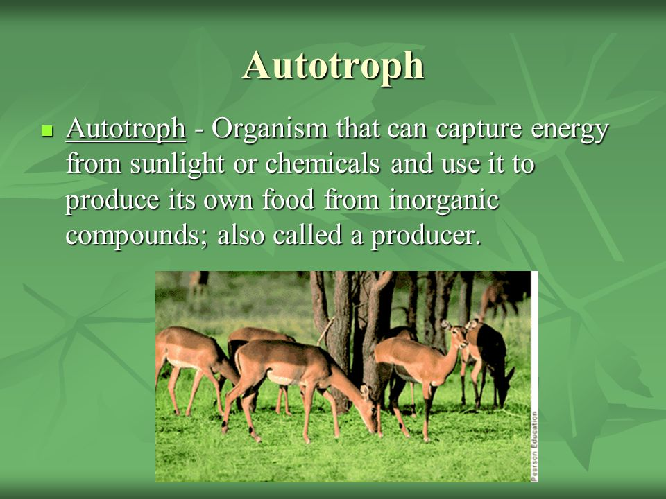 Autotroph Autotroph - Organism that can capture energy from sunlight or chemicals and use it to produce its own food from inorganic compounds; also ca