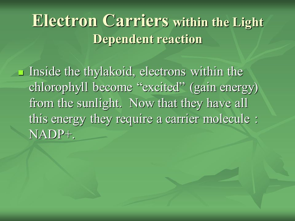 "Electron Carriers within the Light Dependent reaction Inside the thylakoid, electrons within the chlorophyll become ""excited"" (gain energy) from the s"
