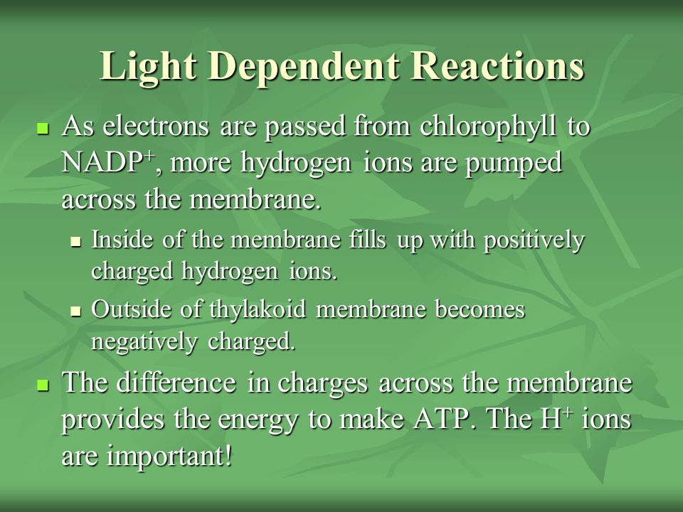 Light Dependent Reactions As electrons are passed from chlorophyll to NADP +, more hydrogen ions are pumped across the membrane. As electrons are pass
