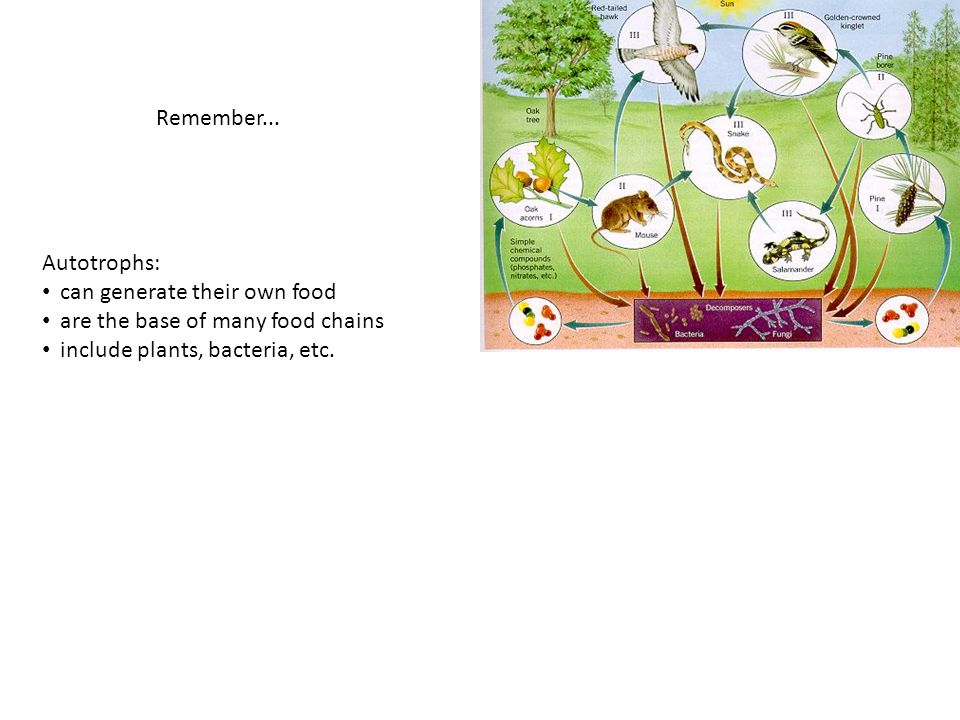 Remember... Autotrophs: can generate their own food are the base of many food chains include plants, bacteria, etc.