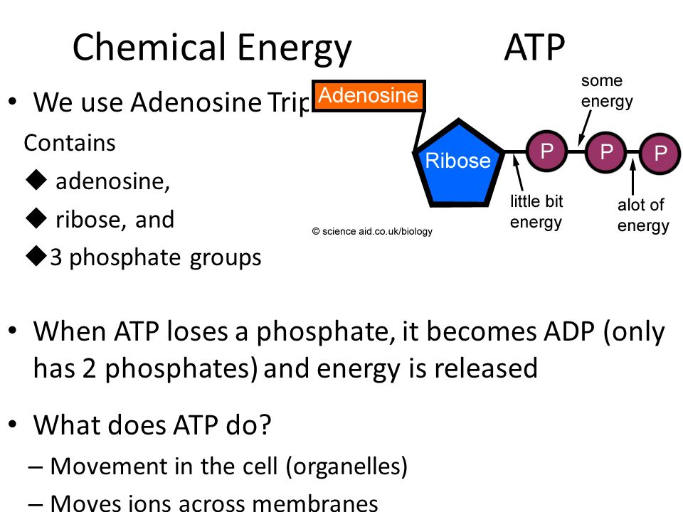 Chemical Energy ATP We use Adenosine Triphosphate Contains  adenosine,  ribose, and  3 phosphate groups When ATP loses a phosphate, it becomes ADP (only has 2 phosphates) and energy is released What does ATP do.