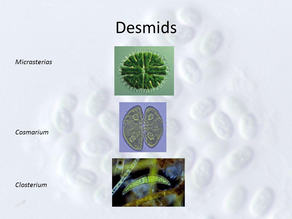 Desmids Micrasterias Cosmarium Closterium
