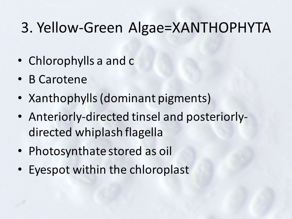 3. Yellow-Green Algae=XANTHOPHYTA Chlorophylls a and c Β Carotene Xanthophylls (dominant pigments) Anteriorly-directed tinsel and posteriorly- directe