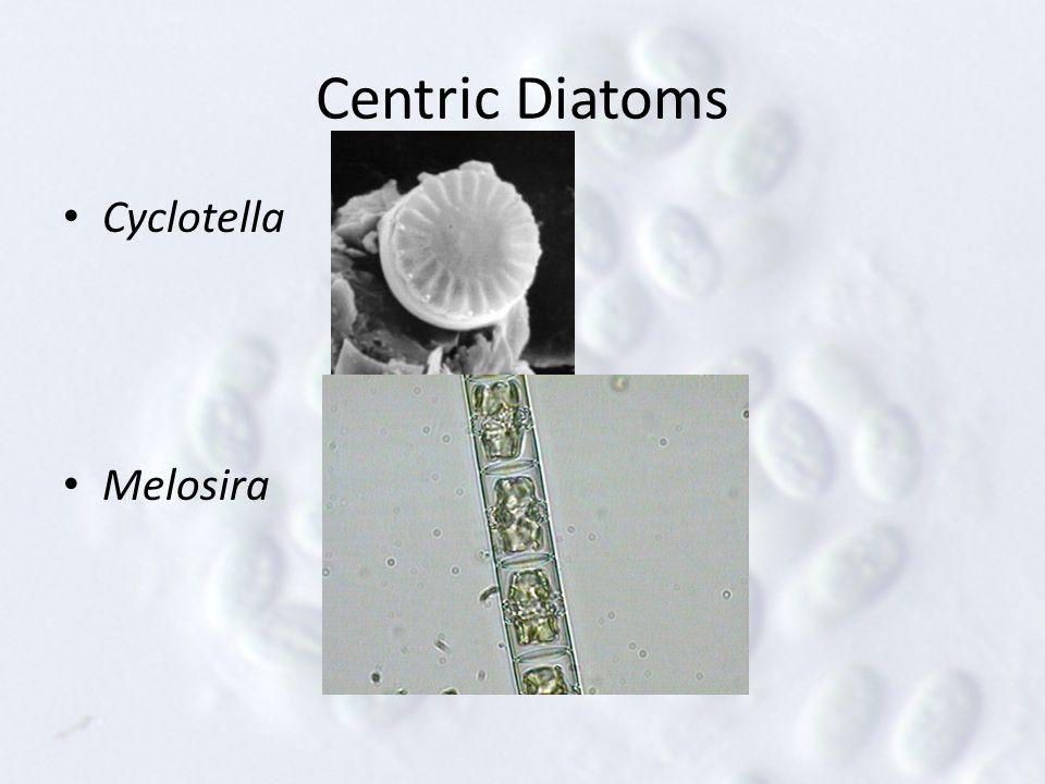 Centric Diatoms Cyclotella Melosira