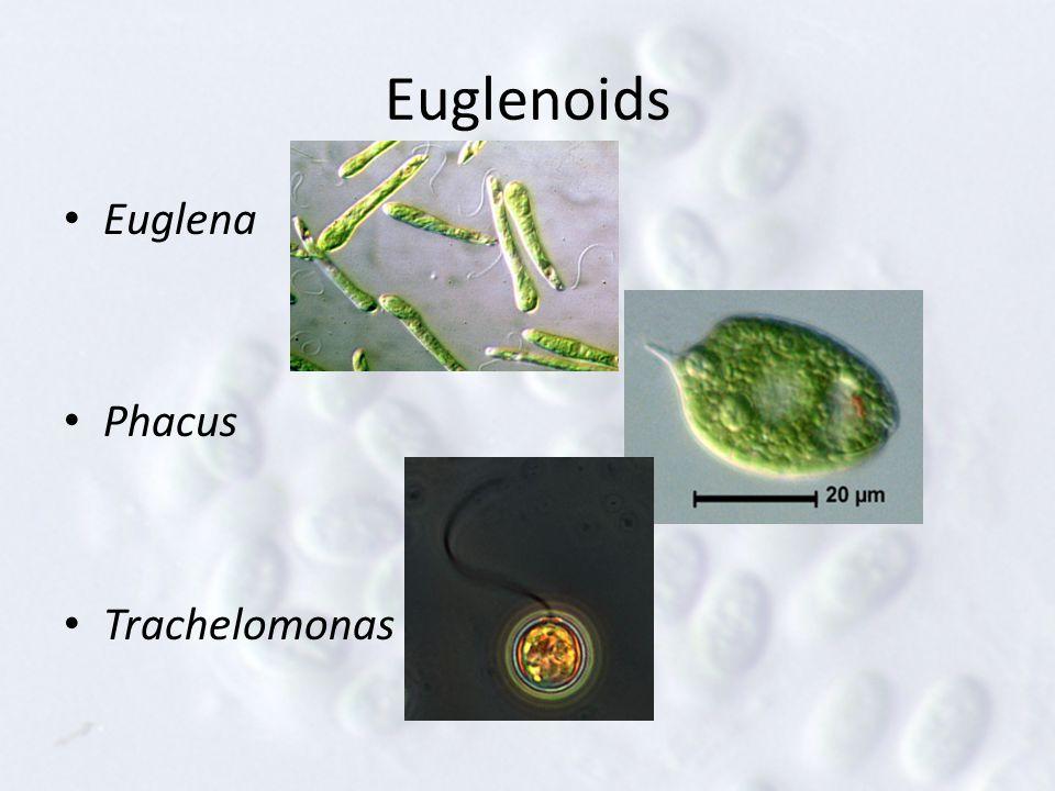 Euglenoids Euglena Phacus Trachelomonas