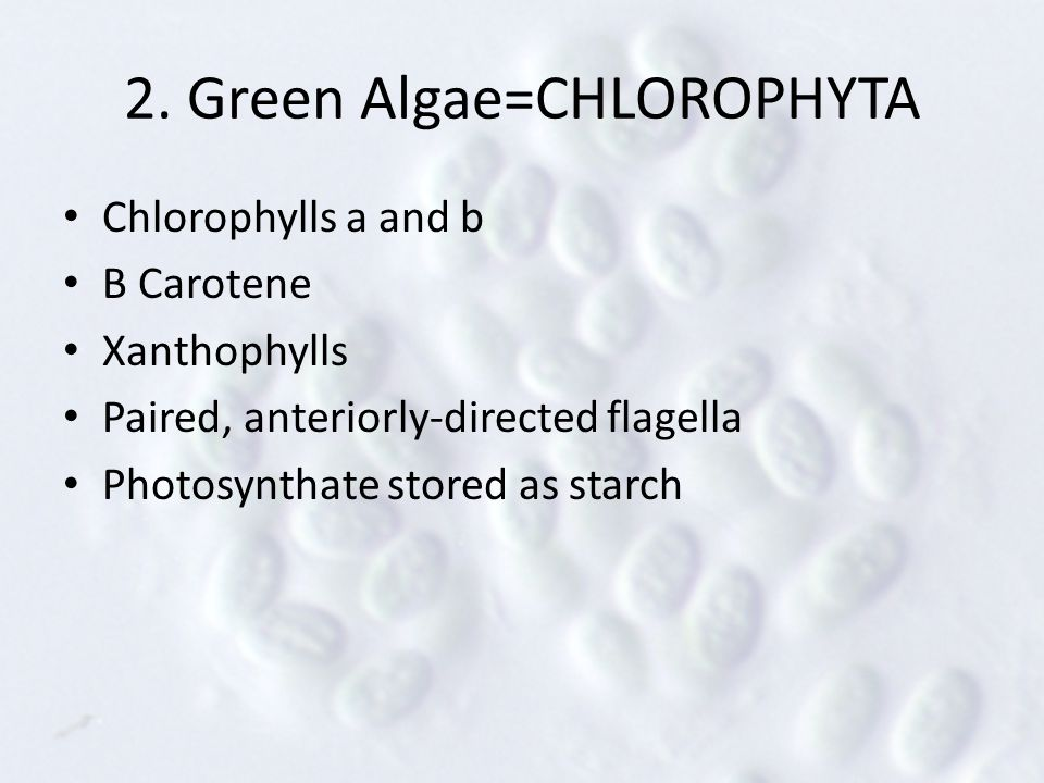 2. Green Algae=CHLOROPHYTA Chlorophylls a and b Β Carotene Xanthophylls Paired, anteriorly-directed flagella Photosynthate stored as starch